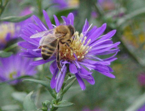 Honigbiene in Blüte